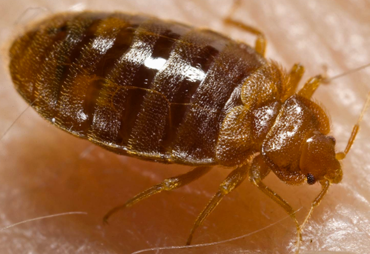 bed_bugs_pictures_-_Google_Search.png